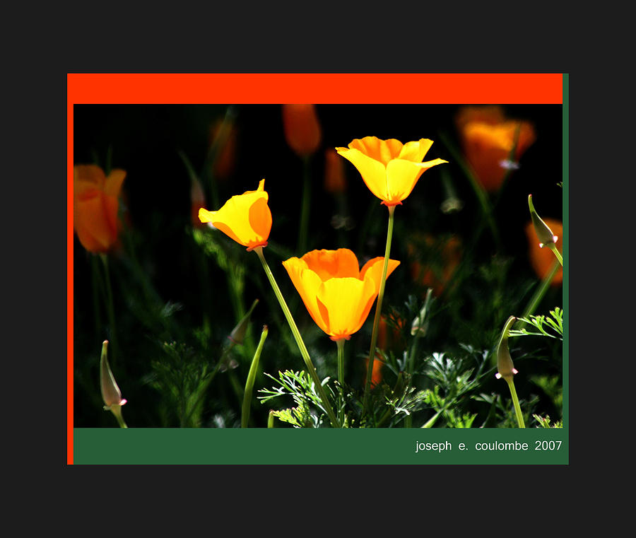 California Photograph - California Poppys 2007 by Joseph Coulombe