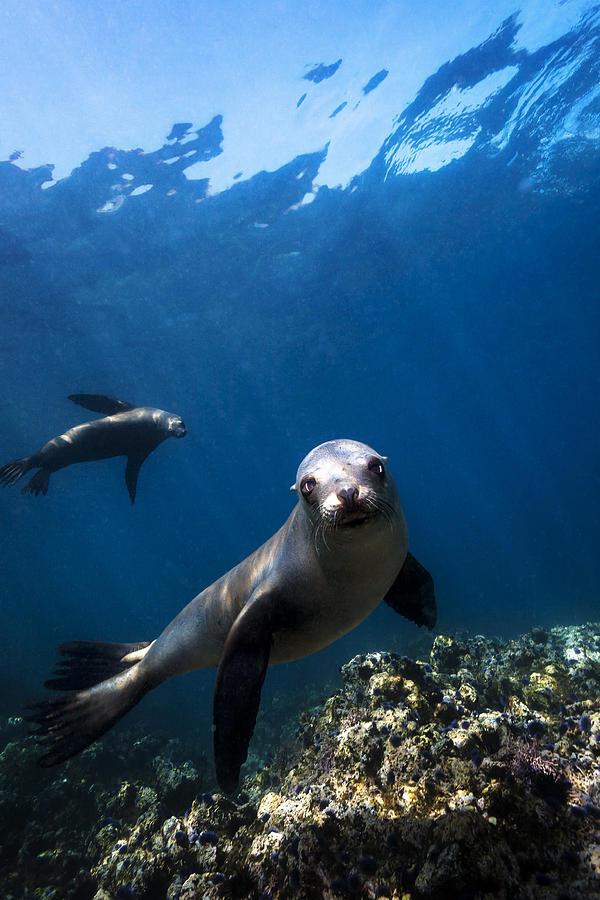 California Photograph - California Sea Lion Portrait by Bryan Toro