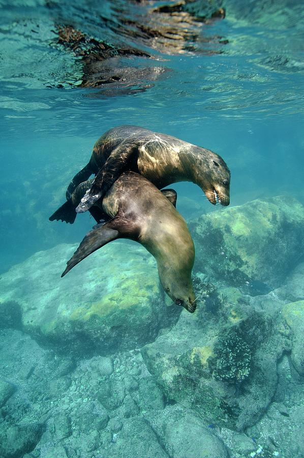 California Sea Lion Photograph - California Sea Lions In Shallow Water by Christopher Swann