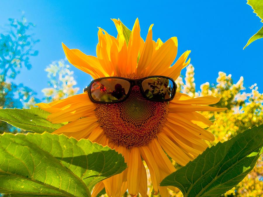 California Sunflower Photograph