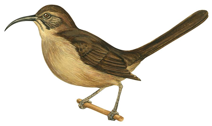 Bird Drawing - California Thrasher by Anonymous
