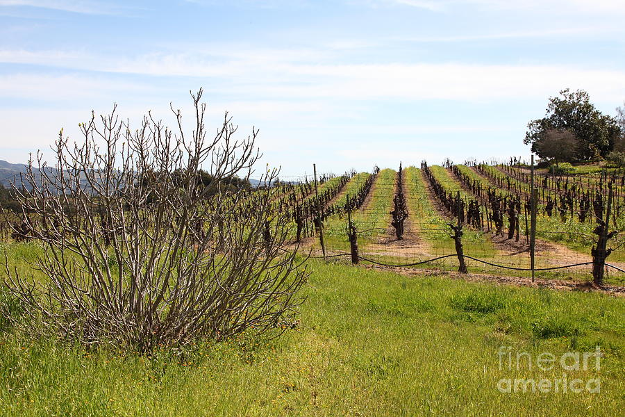 Sonoma Photograph - California Vineyards In Late Winter Just Before The Bloom 5d22121 by Wingsdomain Art and Photography