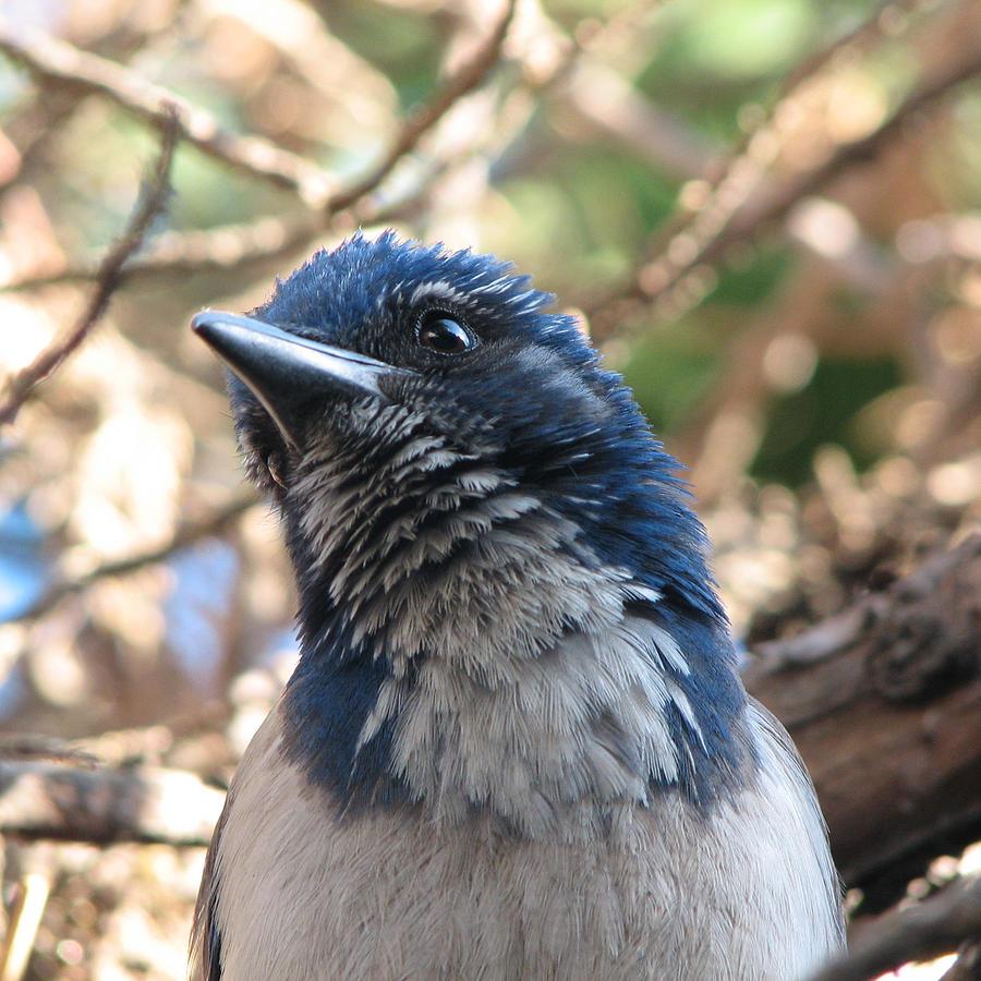Bird Photograph - California Western Scrub Jay by Patricia Barmatz