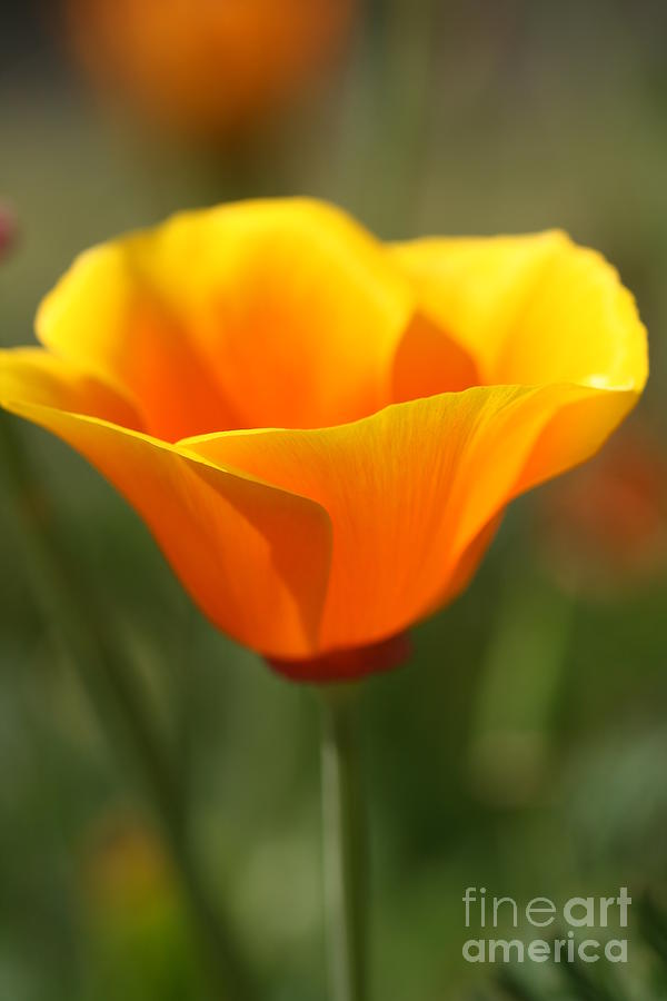 Plant Photograph - Californian Poppy by Joy Watson