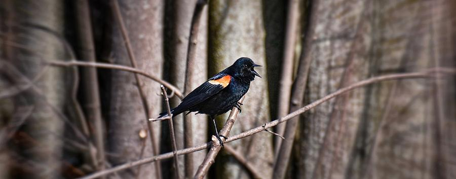 Red-winged Blackbird Photograph - Call Of The Red Winged Blackbird by Henry Kowalski
