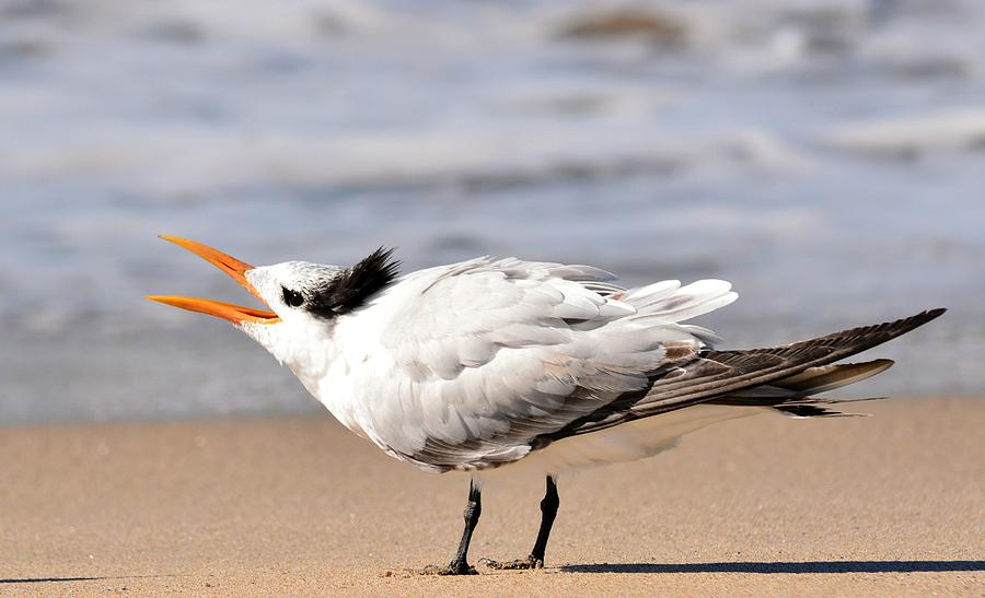 Common Tern Photograph - Call Of The Tern by Fraida Gutovich