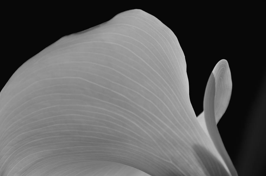 Calla Lilly Photograph - Calla Lilly 11 by Ron White