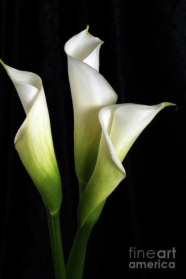 calla lily flower trio photograph by linda matlow