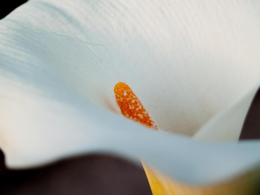 California Photograph - Calla Lily II by Bill Gallagher