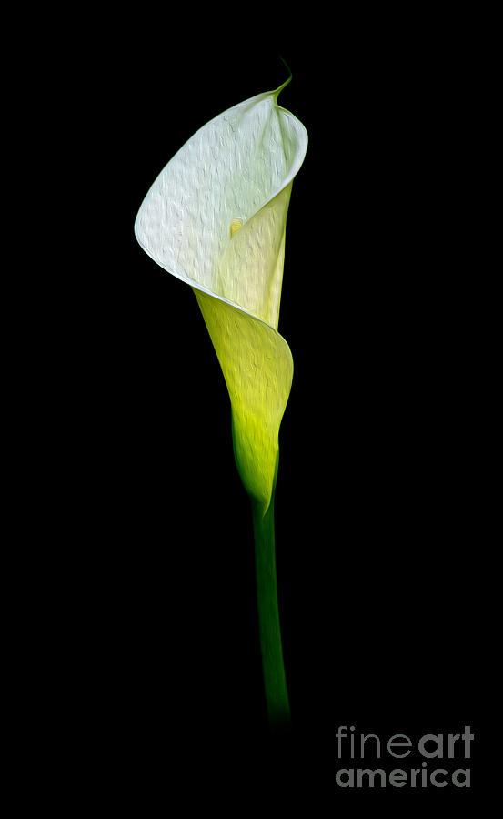 Calla Lily Digital Art - Calla Lily II by Kenneth Montgomery