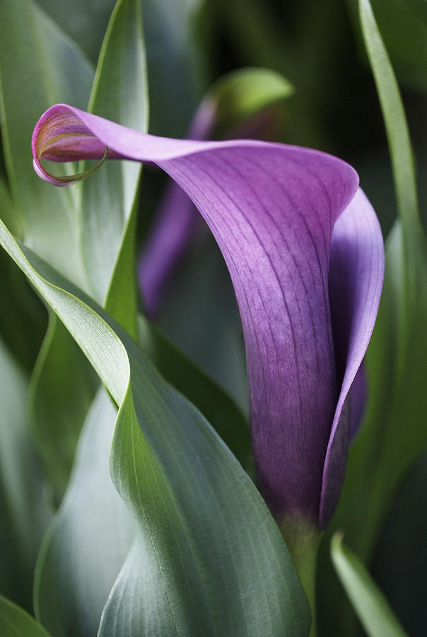 Lily Photograph - Calla Lily In Purple Ombre by Rona Black