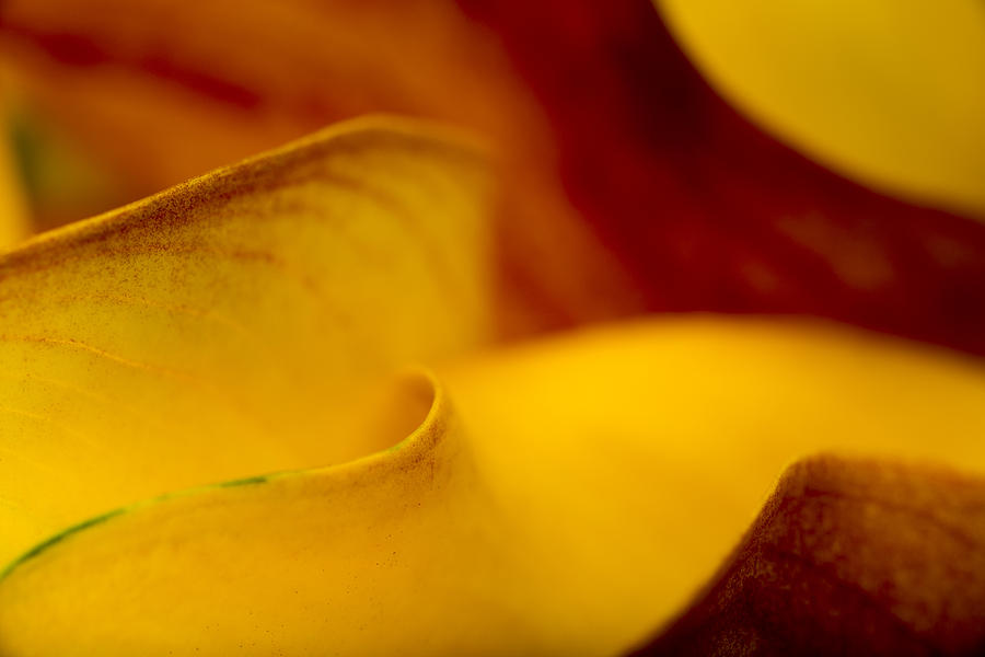 Calla Lily Waves by Sebastian Musial