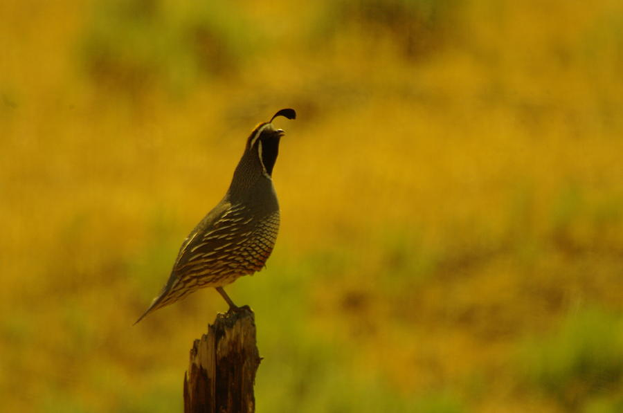 Quail Photograph - Calling For Girl Friends by Jeff Swan