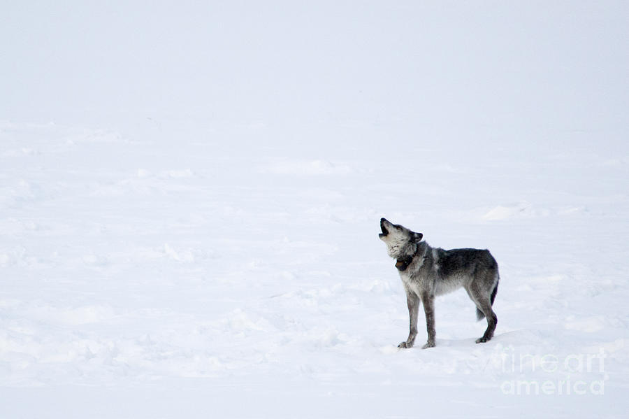 Gray Wolf Photograph - Calling Home by Deby Dixon