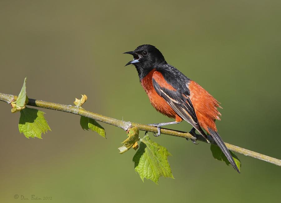 Orchard Oriole Photograph - Calling Orchard Oriole by Daniel Behm