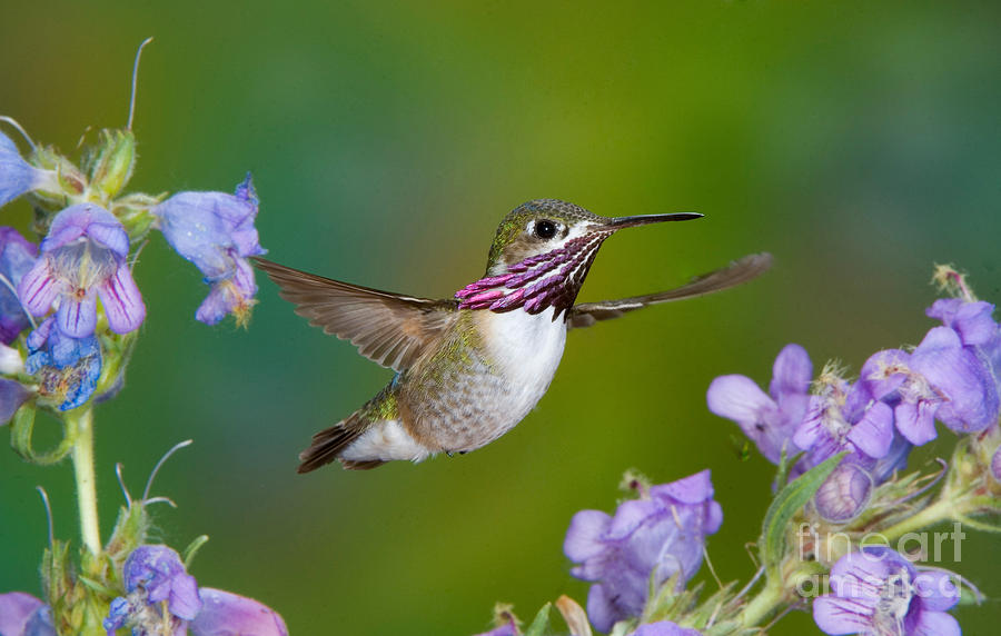 Fauna Photograph - Calliope Hummingbird by Anthony Mercieca