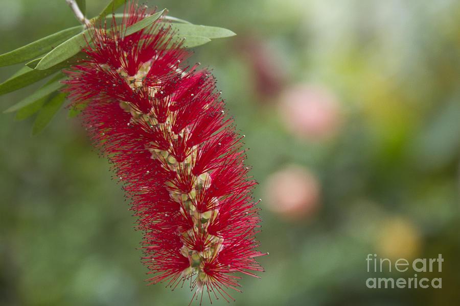 Aloha Photograph - Callistemon Citrinus - Crimson Bottlebrush by Sharon Mau