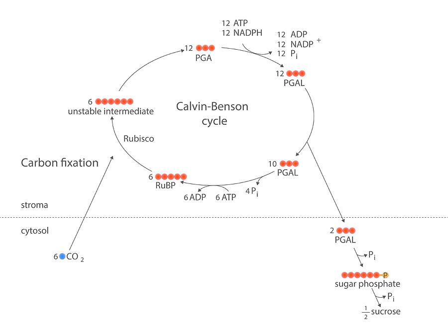 Reaction Photograph - Calvin-benson Metabolic Cycle by Science Photo Library
