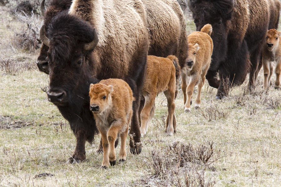 Bison Photograph - Calving Time by Jill Bell