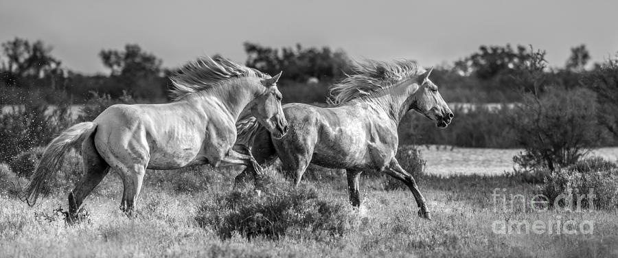Stallion Photograph - Camargue Stallions by Heather Swan