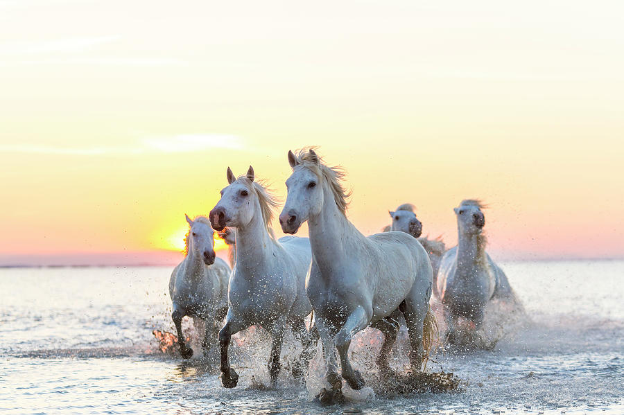 Camargue White Horses Running In Water Photograph by Peter Adams