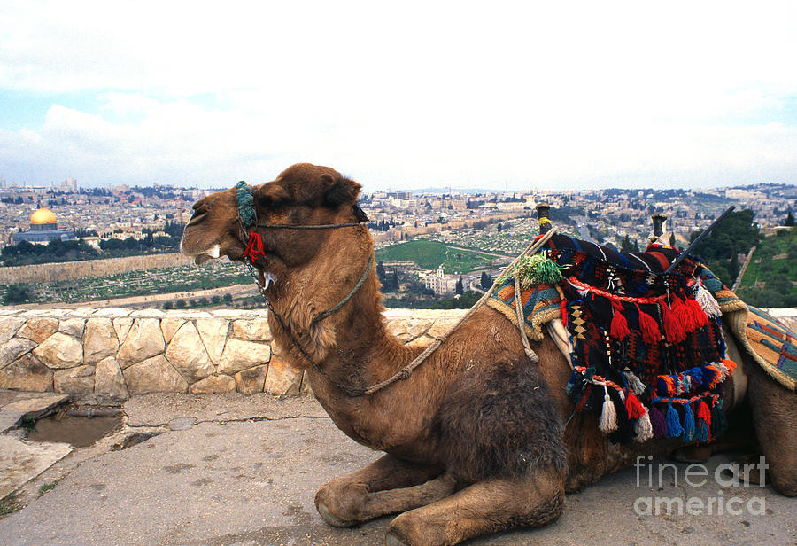 Camel And Jerusalem From Mount Olive Photograph By Thomas
