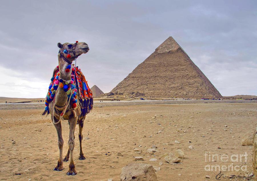 Camel Photograph by Hossam ElDin  Mostafa