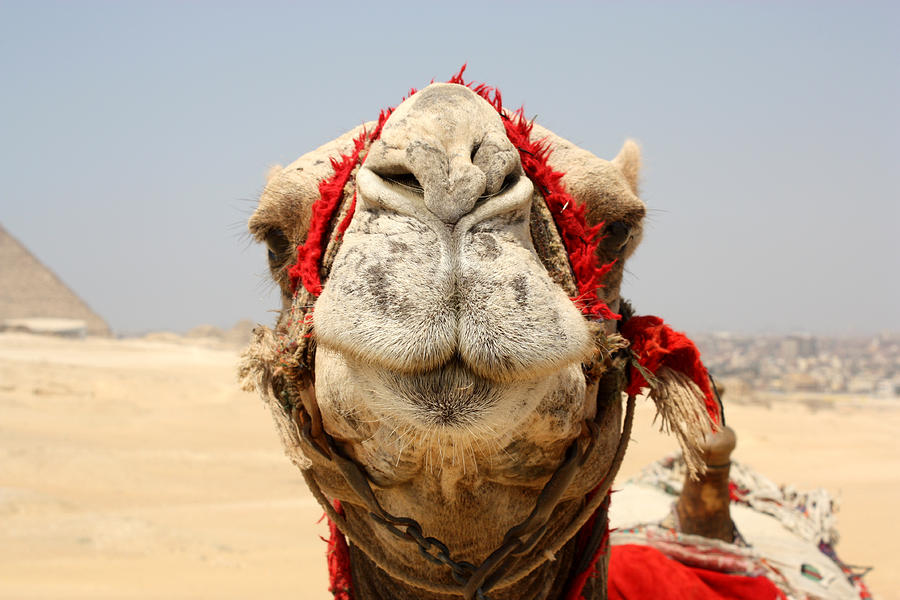 Egypt Photograph - Camel Kiss by Laura Hiesinger