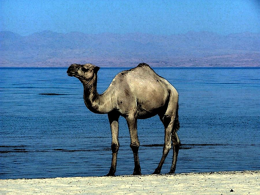 Camel On The Beach Watercolor by Olde Time  Mercantile
