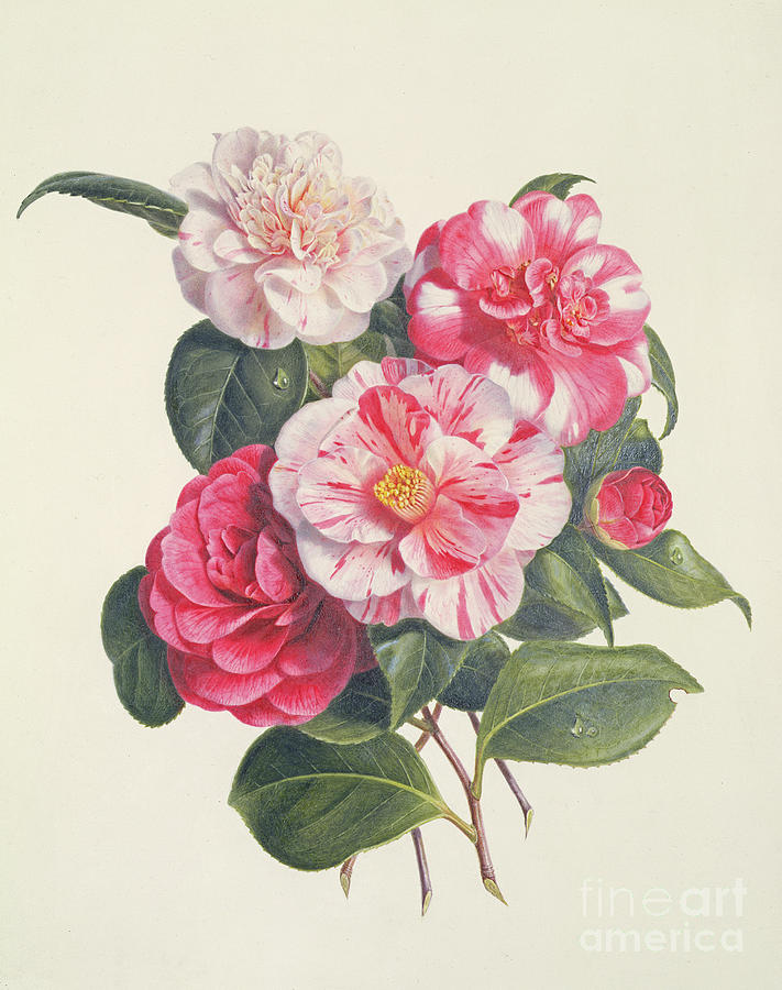 Flower Painting - Camelias by Augusta Innes Withers