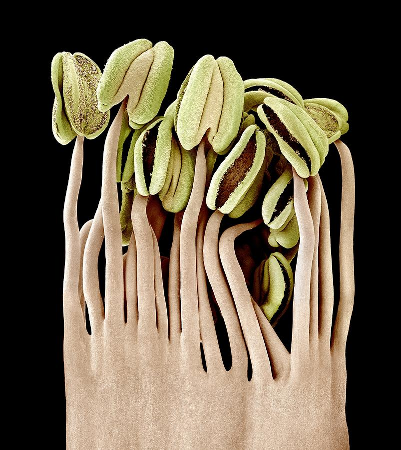 Plant Photograph - Camellia Flower Stamens, Sem by Science Photo Library