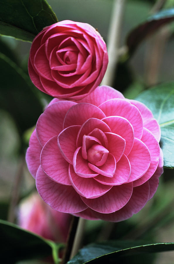 Camellia Japonica Photograph - Camellia Flowers by Adrian Thomas/science Photo Library