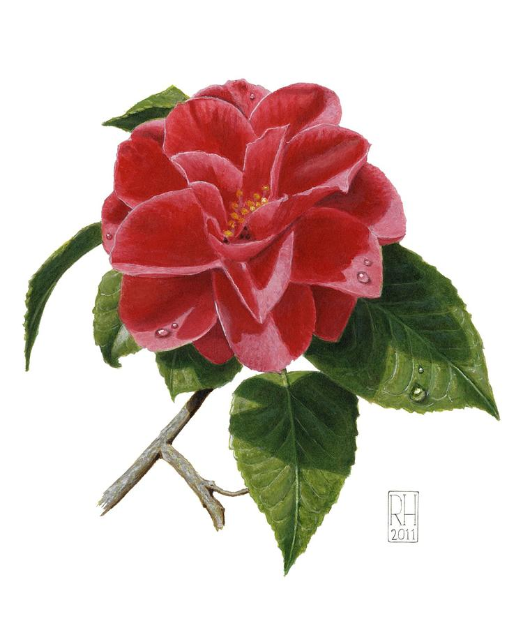 Camellia Painting - Camellia by Richard Harpum