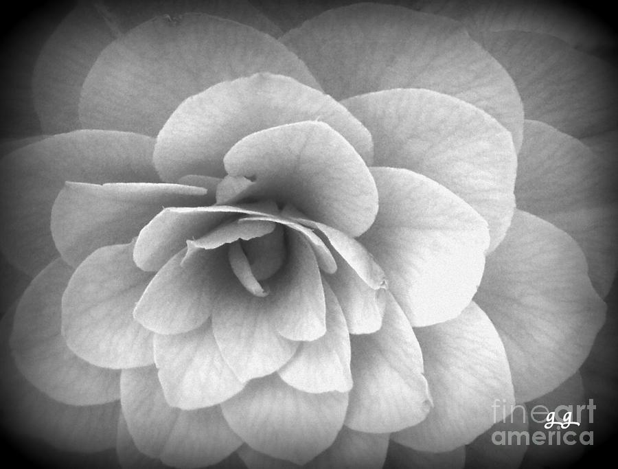 Floral Photograph - Camellia Study by Geri Glavis