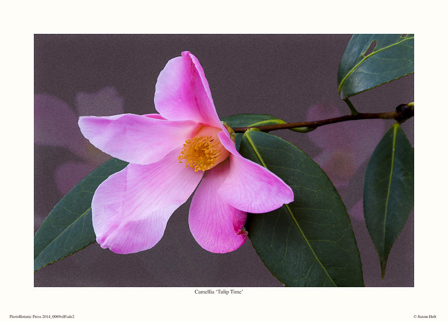 Camellia Photograph - Camellia tulip Time by Saxon Holt