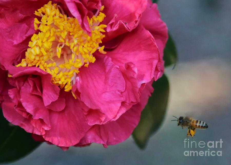 Camellia Photograph - Camellia With Bee by Carol Groenen