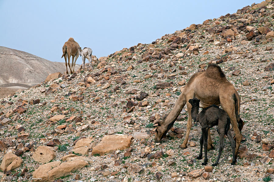 Camels Photograph - Camels At The Israel Desert -1 by Dubi Roman
