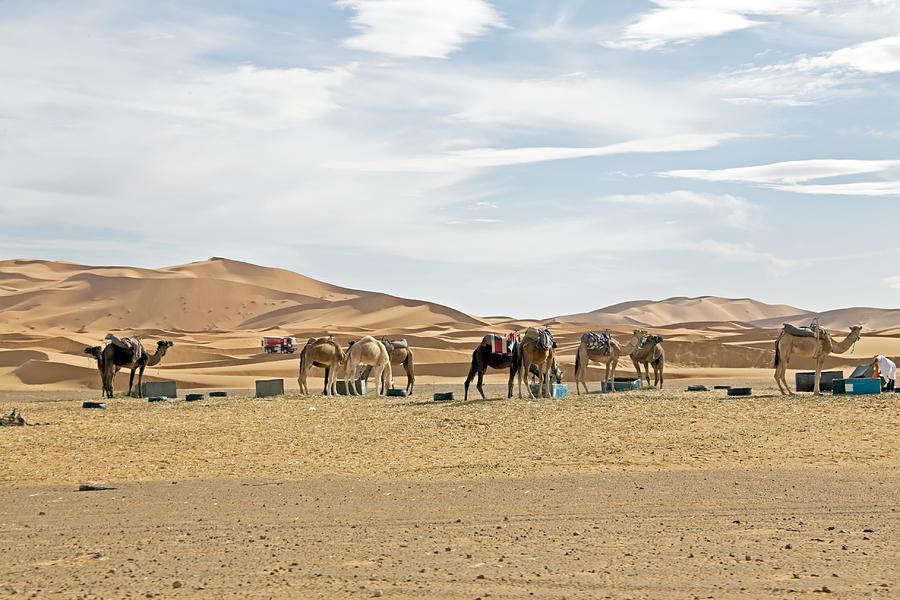 Camels In Sahara Desert At Sunset Photograph by Nisangha Ji
