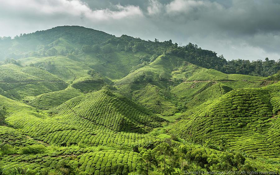 Cameron Boh Tea Plantation Photograph by Donniet
