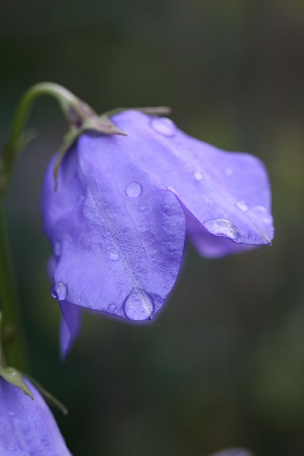 Campanula Photograph - Campanula After The Rain by Mark Severn
