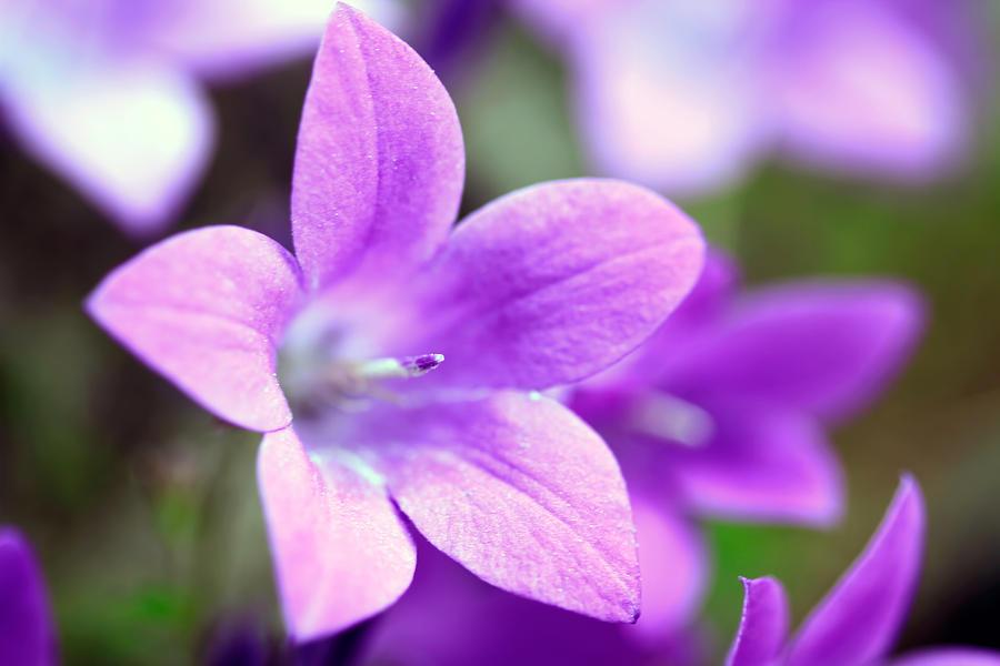 Campanula Photograph - Campanula Portenschlagiana Blue Bell Flowers Closeup by David Gn