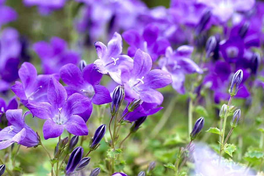 Campanula Photograph - Campanula Portenschlagiana Blue Bell Flowers by David Gn