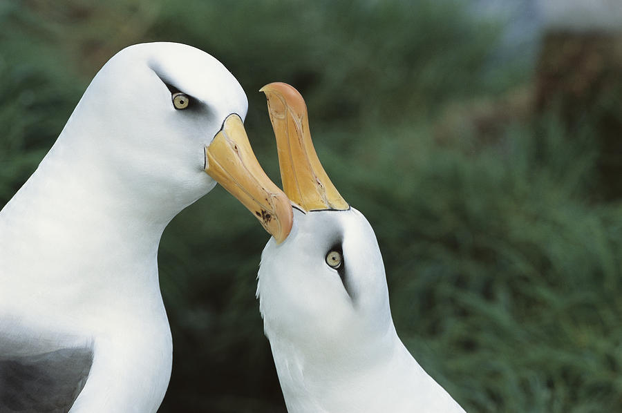 Animalsandearth Photograph - Campbell Albatrosses Courting Campbell by Tui De Roy