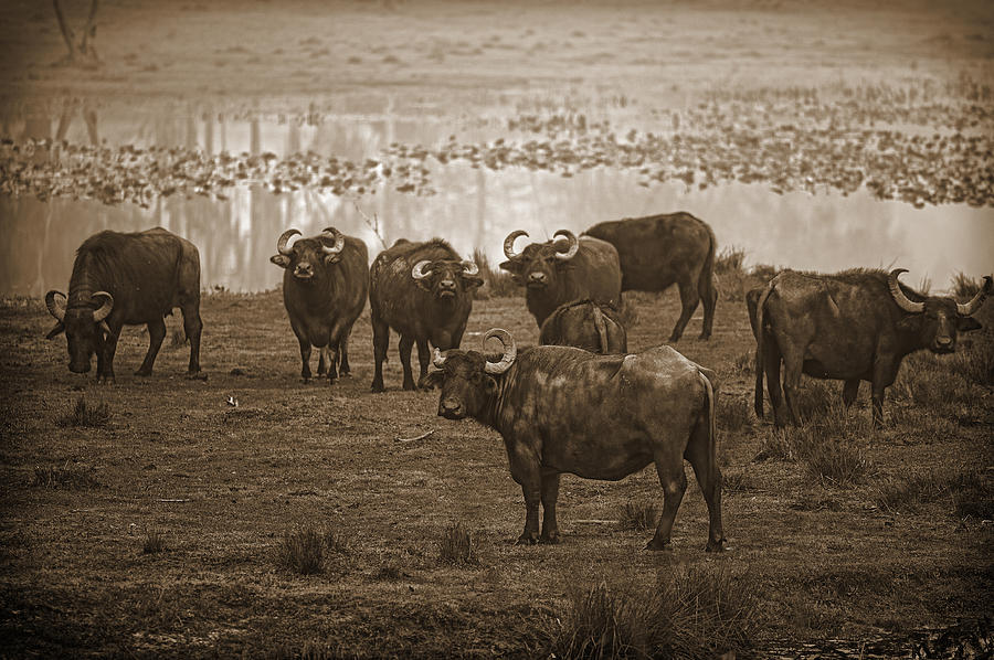 Northwest Florida Photograph - Can Not Roller Skate In A Buffalo Herd by Frank Feliciano