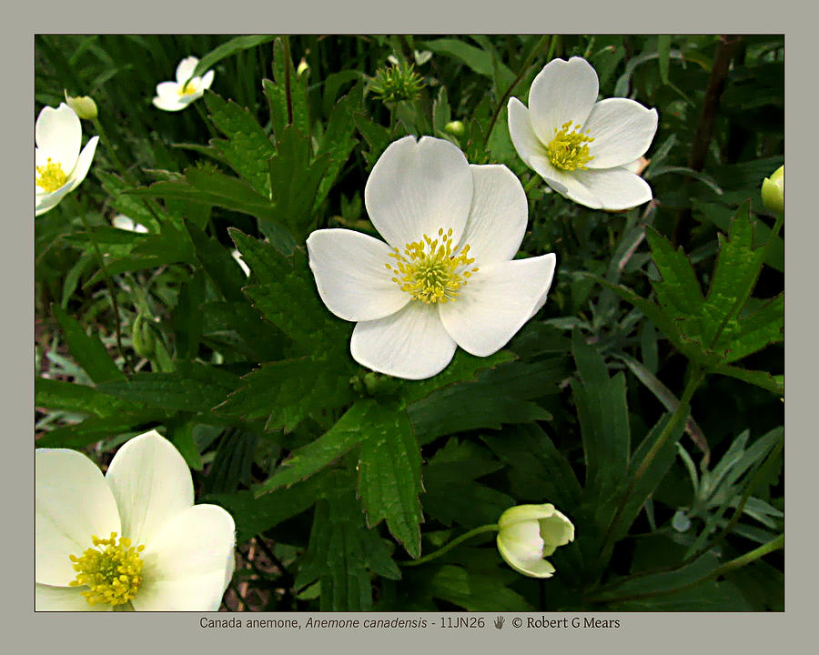 Canada Anemone Photograph - Canada Anemone - Anemone Canadensis - 11jn26 by Robert G Mears