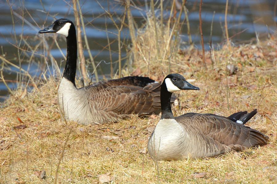 Canada Geese at Rest by Dylan Lees