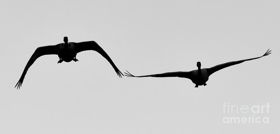Canada Geese Photograph