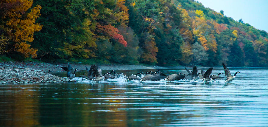 Canada Geese Photograph - Canada Geese Taking Flight by Steve Clough