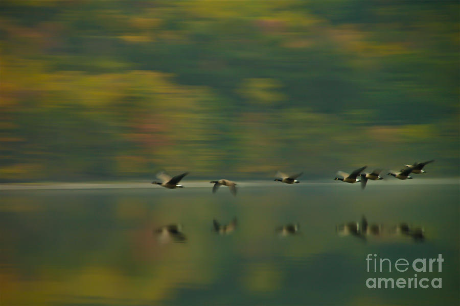 Canada Geese Photograph - Canada Geese Whoosh by Steve Clough
