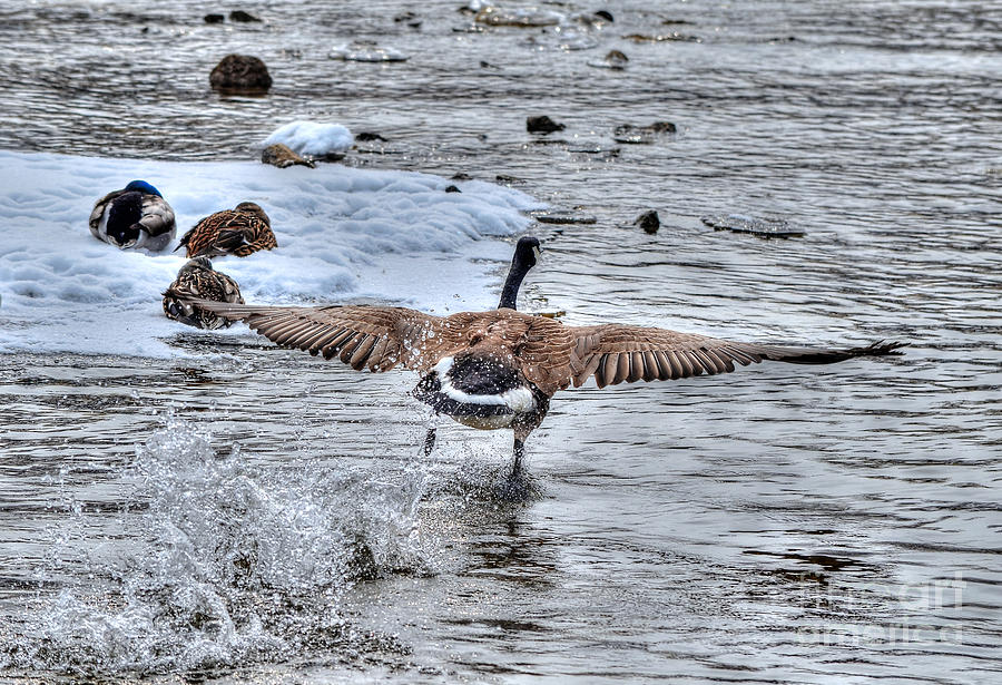 Goose Photograph - Canada Goose - The Runway by Skye Ryan-Evans